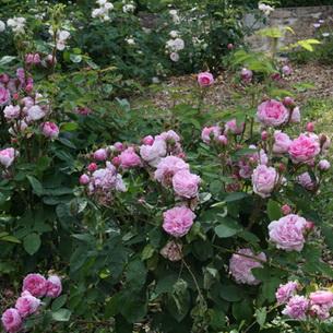 jantáru ruže datovania